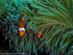 BD-090924-Bunaken-9243779-Amphiprion-ocellaris.-Cuvier.-1830-[Clown-anemonefish].jpg